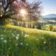backlight view through apple tree, summer meadow in bavaria, germany